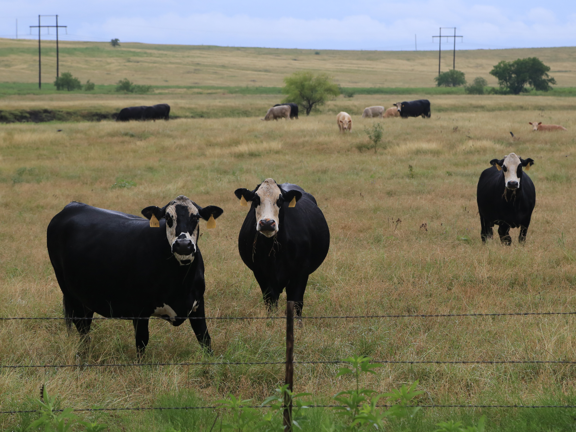 tfb_beef-cattle_6f2a1019