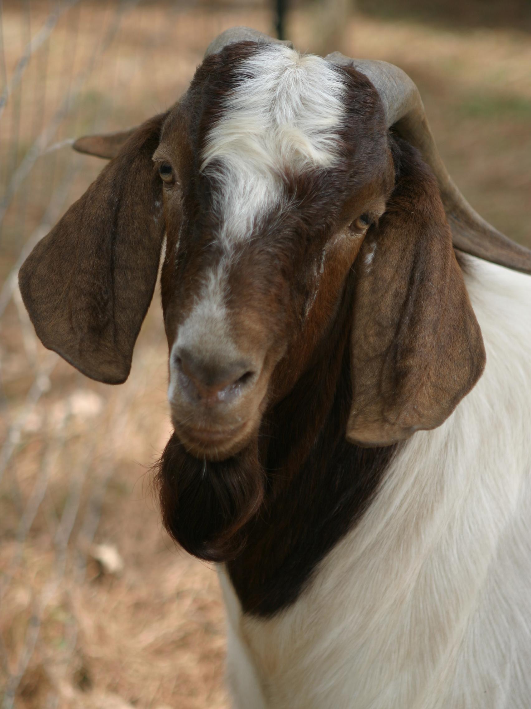 tfb_goats_2774