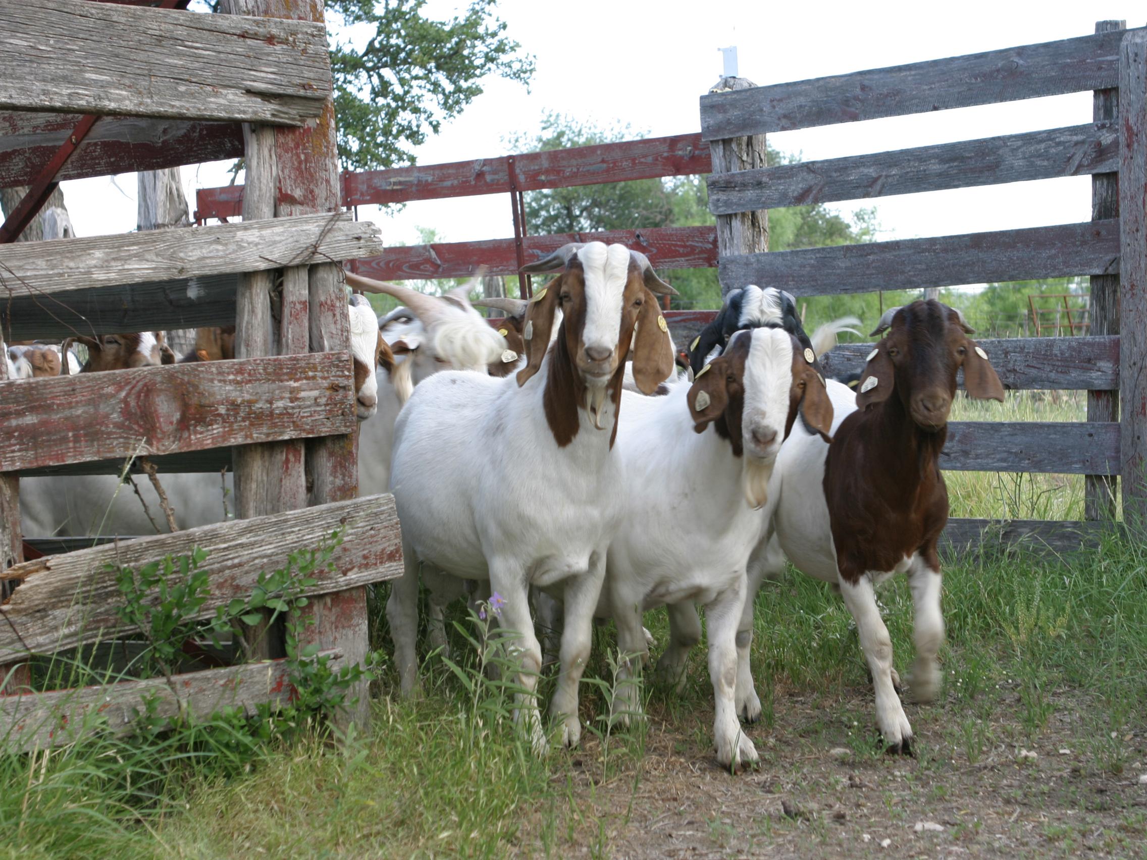 tfb_goats_6401