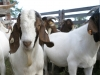 tfb_goats_6405