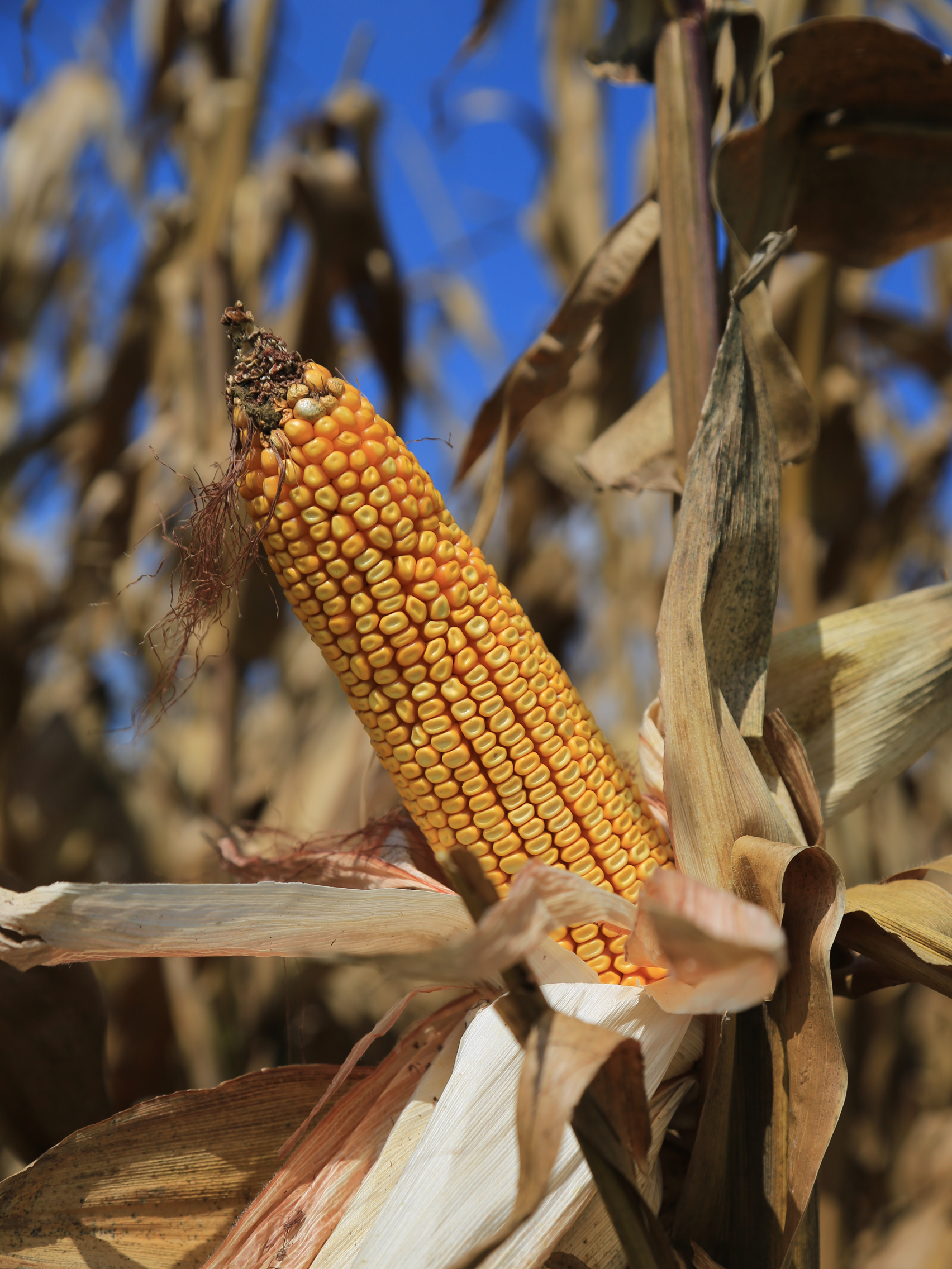 tfb_corn_6f2a0659