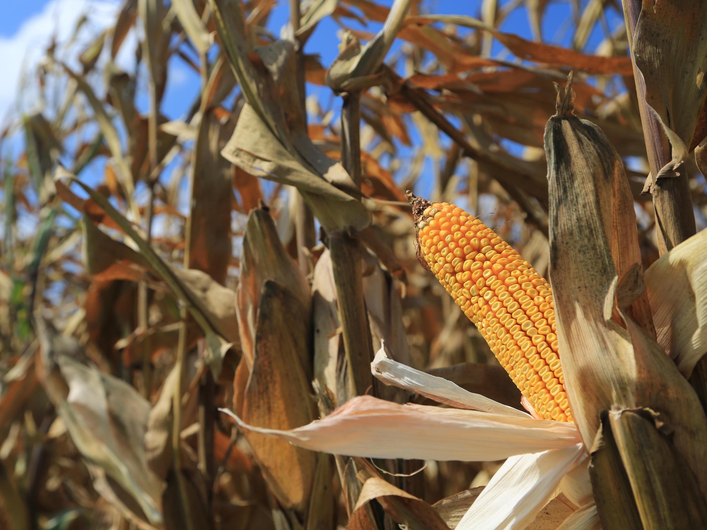 tfb_corn_6f2a0666