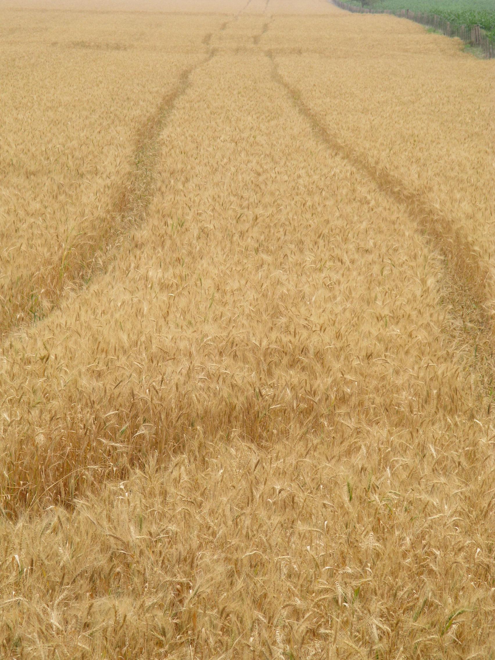 tfb_wheat_0942