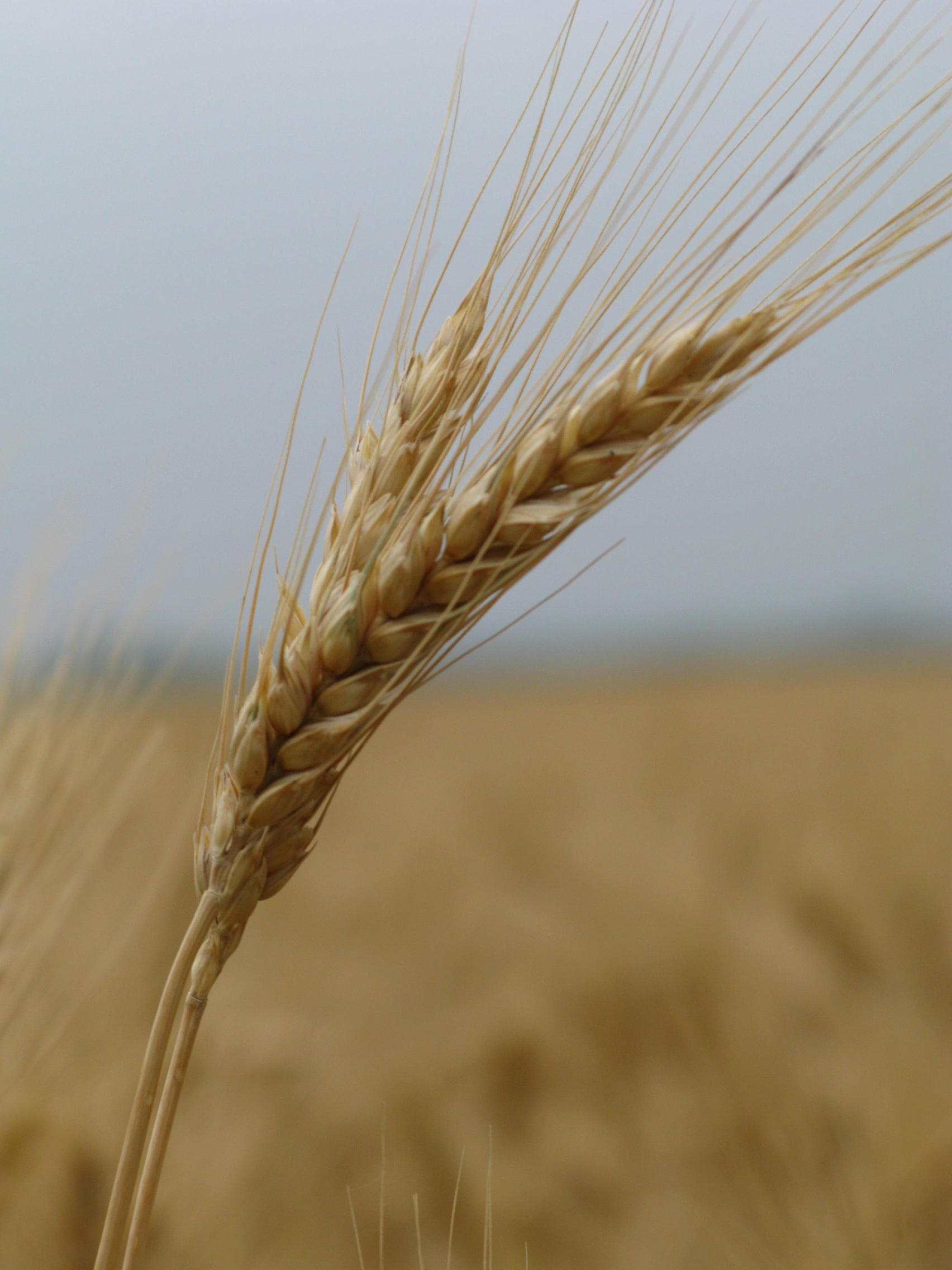 tfb_wheat_1492