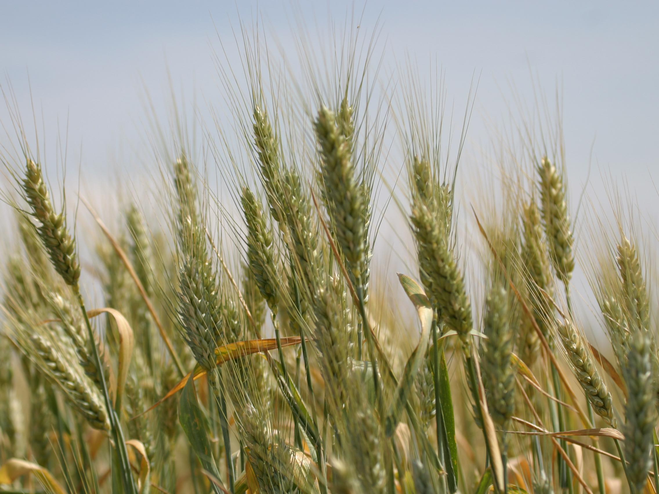 tfb_wheat_3415
