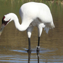 Federal stay in whooping crane case protects Texas water