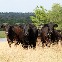 Texas Farm Bureau delegates shape national beef checkoff policy